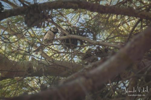 Pájaro picando piña